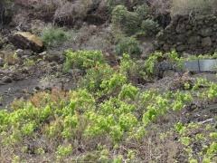 Weinanbau bei Las Manchas