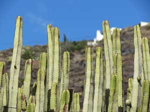 La Palma Kandelaberwolfsmilch