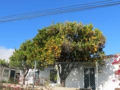 Apfelsinenbaum bei Puntagorda