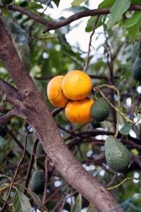 Apfelsinen & Avocados wachsen nebeneinander